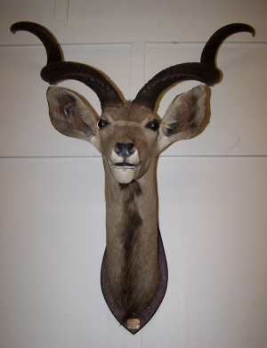 Image of Kudu Head mounted on wooden shield